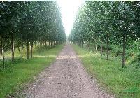 杨树,毛白杨,107杨树,意杨