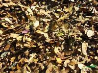 白桦种子,白桦种苗,别称:桦树,桦木,桦皮树