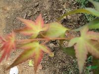 红枫20公分,红枫小苗,红枫价格,红枫苗圃
