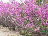 紫荆,紫荆花,紫荆苗木