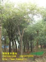 *新湖南綠化苗木櫸樹特價直銷_湖南櫸樹-櫸樹價格-櫸樹圖片