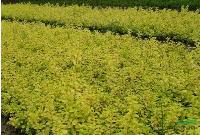 金葉女貞,紅葉小檗,月季,黃楊等花冠木苗木