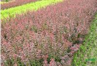紫叶小檗,紫叶小檗价格,紫叶小檗苗木