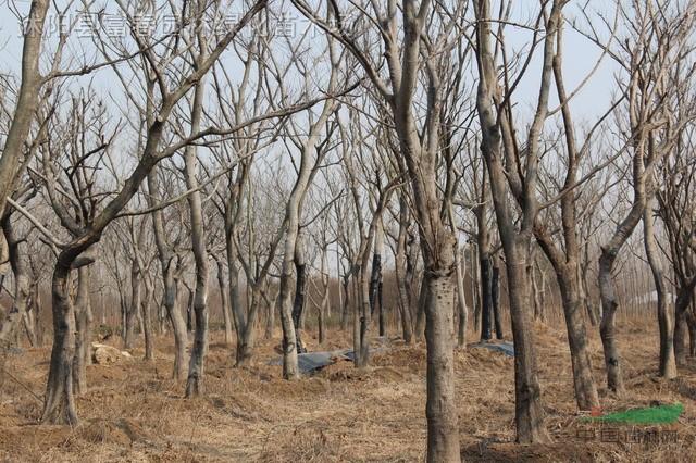 榉树种子种植技术_光叶榉,光叶榉种子,光叶榉苗,别名:榉树,鸡油树