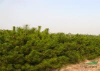 油松,油松价格,油松苗木