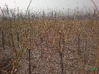 黄金槐4公分,苗圃黄金槐,黄金槐苗木 黄金槐6公分 黄金槐