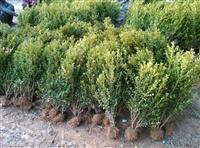苗圃小叶黄杨小毛球大量批发、瓜子黄杨苗、大小叶黄杨球价格供应