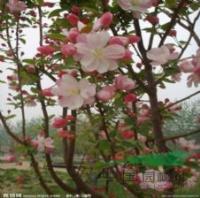 贴梗棠、垂丝海棠、西府海棠、四季海棠、红梅