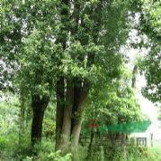 辛夷、合欢、黄山栾树、香樟
