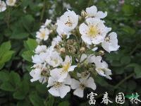 蔷薇,蔷薇小苗,蔷薇花,别称:野蔷薇,江苏蔷薇基地,蔷薇价格