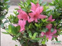 石岩杜鹃,石岩杜鹃苗,别名:东洋杜鹃、朱砂杜鹃、春鹃小花种
