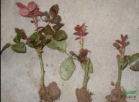 月季小苗,月季,别称:月月红 长春花,月季基地,沭阳月季