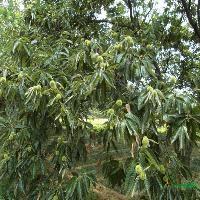 板栗树,枣树,李子树,石榴树