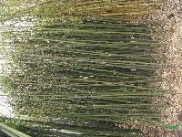 竹苗 佛肚竹