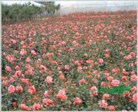 中國*大月季小苗原產地  月季 大花月季基地  紅帽月季基地