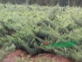 红瑞木、铺地竹、箬竹、造型小叶女贞、造型桧柏