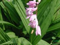 白芨,白及种苗,别称: 连及草、甘根、白给、箬兰、朱兰,紫兰