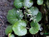 虎耳草,虎耳草种苗,别称:石荷叶、金线吊芙蓉、金丝荷叶