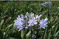 百子莲,百子莲苗,百子莲种子,别称: 紫君子兰、蓝花君子兰