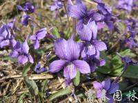 紫花地丁,紫花地丁种苗,别名:铧头草、光瓣堇菜,紫花地丁基地