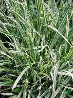 花叶燕麦草,花叶燕麦草种苗,江苏花叶燕麦草,花叶燕麦草价格,