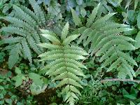 东方荚果蕨,东方荚果蕨种子,别名:大叶蕨、马来巴