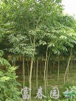 黄金树,黄金树种苗,别称: 洗手果,苦患树,木患子,油患子