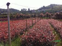 *新品种湖南红叶石楠产品 红叶石楠小苗 红叶石楠球树
