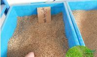 直销 草坪种子 高羊茅草种 三叶草种子 四季青草坪种子
