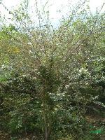 水杨梅单株高度150cm,蓬形80-100cm