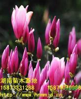 特价供应紫玉兰-紫玉兰价格-紫玉兰苗圃-湖南紫玉兰基地