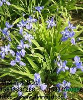 特價供應湖南鳶尾,鳶尾花,鳶尾花價格,湖南苗木基地
