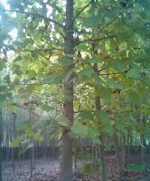 唐竹、红三叶、杂三叶、红枫、黄山栾树、法桐、广玉兰