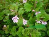 香彩雀、玉龙、羽扇豆、醉蝶花、紫御谷、沼湿草