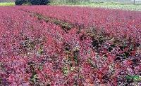紫叶小檗床苗10cn 紫叶小檗小苗10公分