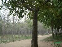 米径15、18、20、25公分的银杏树
