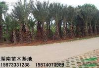 棕榈苗木-湖南棕榈-棕榈树-棕榈价格-湖南特价棕榈