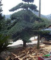 造型榆树 造型罗汉松 造型榔榆 榆树价格 罗汉松价格