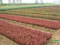 中国*大红叶小檗基地 红叶小檗原产地