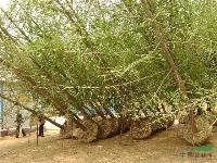 供应米径22公分的银杏实生树