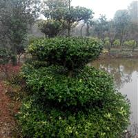 湖南枸骨球 湖南造型枸骨价格 枸骨树 有刺枸骨