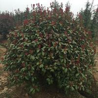 红叶石楠球,红叶石楠小秧苗,高杆红叶石楠,麦冬,草坪