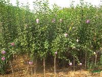 江苏南京供应紫薇,丛生紫薇,日本矮紫薇,红花紫薇,大叶紫微