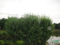 大量供应木槿.红花木连.水杉.无患子.马褂木