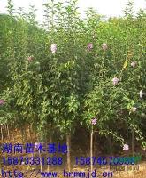 供应湖南木槿-木槿价格-丛生木槿-茉莉花-木槿小苗
