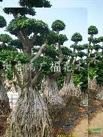 供应小叶榕精品造型