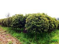 四季桂、多头香樟、广玉兰、杜英、丹桂、金叶含笑、实生银杏