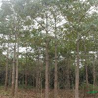 供应大规格木棉50-150公分直径