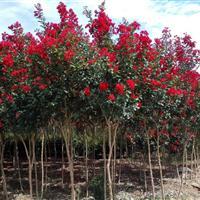 国内首批平茬三红紫薇袋苗(2015国内非嫁接)