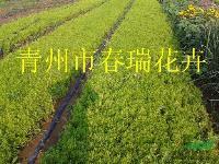 佛甲草,垂盆草,山东佛甲草,山东垂盆草